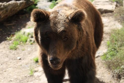 alpenzoo bear 500x333 - A day trip to Innsbruck, Austria from Garmisch-Partenkirchen, Germany