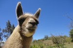 llama ecuador 150x100 - Travel Contest Roundup: November 19, 2014 – Colombia, Ecuador, Fiji & more