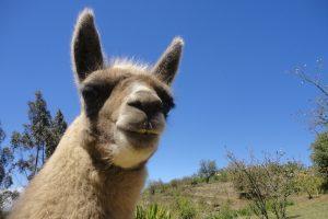 llama ecuador 300x200 - Travel Contest Roundup: November 19, 2014 – Colombia, Ecuador, Fiji & more