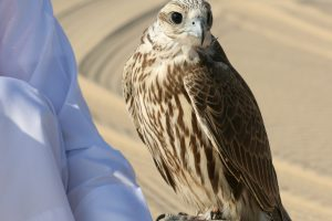 falconry lufthansa 300x200 - Lufthansa to allow falcons in passenger cabins