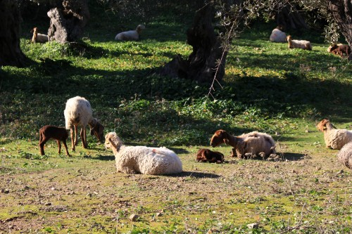 soller goats sheep 500x333 - A day trip from Palma to Soller, Mallorca, Spain