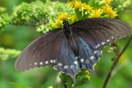 butterfly wasp 150x100 - Photo of the Day: Butterfly, Blue Ridge Mountains, North Carolina