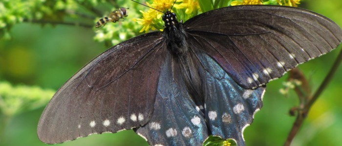 butterfly wasp 700x300 - Photo of the Day: Butterfly, Blue Ridge Mountains, North Carolina