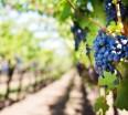 grapes-vineyard
