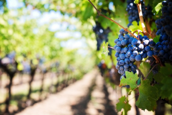 grapes vineyard 700x466 - Travel Contests: July 22, 2015 - France, Martinique, Napa Valley & more