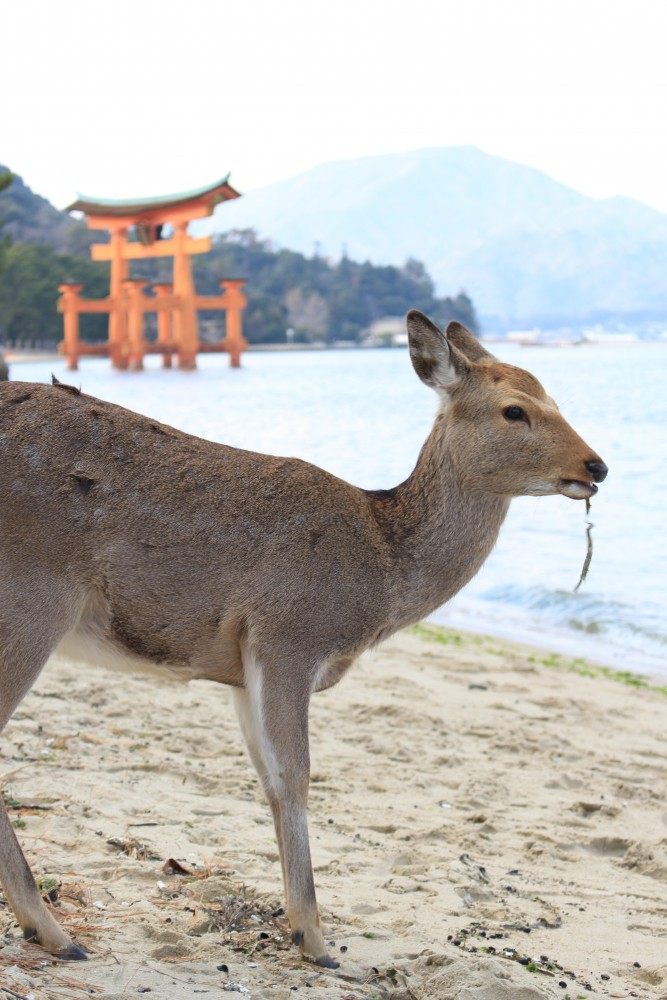 miyajima deer torii 667x1000 - A day trip to Miyajima from Kyoto, Japan