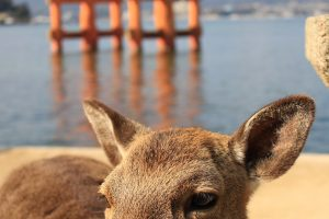 miyajima deer torii gate 300x200 - A day trip to Miyajima from Kyoto, Japan