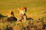 cheetah kenya safari 150x100 - Travel Contests: September 2, 2015 - Kenya, Mexico, NYC and more