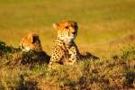 cheetah kenya safari 150x100 - Travel Contests: May 1, 2019 - Africa, Bali, Indy 500, & more