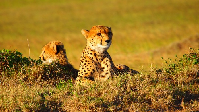 cheetah kenya safari 700x394 - Travel Contests: September 2, 2015 - Kenya, Mexico, NYC and more