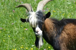 goat farts 300x200 - Singapore Airlines flight diverted due to goat farts