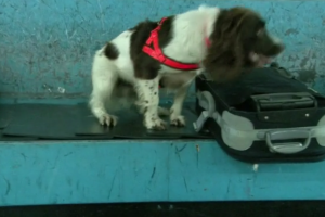 sniffer dog 300x200 - Good sniffer dogs at airport keep finding only cheese and sausages