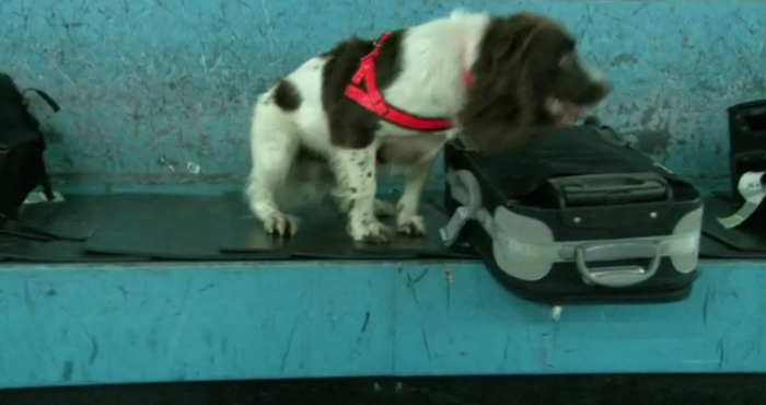 sniffer dog 700x370 - Good sniffer dogs at airport keep finding only cheese and sausages