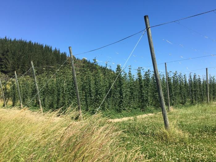 hop fields nelson 700x525 - A beer & wine tour through Nelson, New Zealand