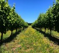 nelson-vineyards