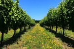 nelson vineyards 150x100 - A beer & wine tour through Nelson, New Zealand
