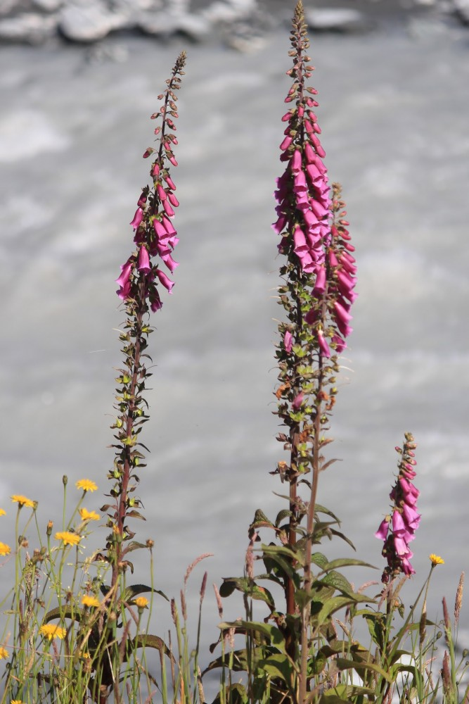 waiho river flowers 667x1000 - Hiking to Franz Josef Glacier, New Zealand