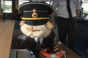 russian sailor cat 300x200 - Russian river cruise features cats dressed in maritime uniforms