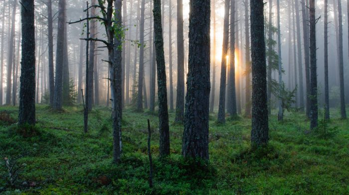 estonian forest 700x392 - From nature to the table: How Estonia connects to its Deepest Roots