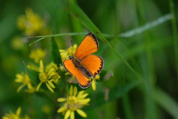 tjarn butterfly 700x467 - A relaxing visit to Tjarn farmstead in Vasterbotten, Sweden