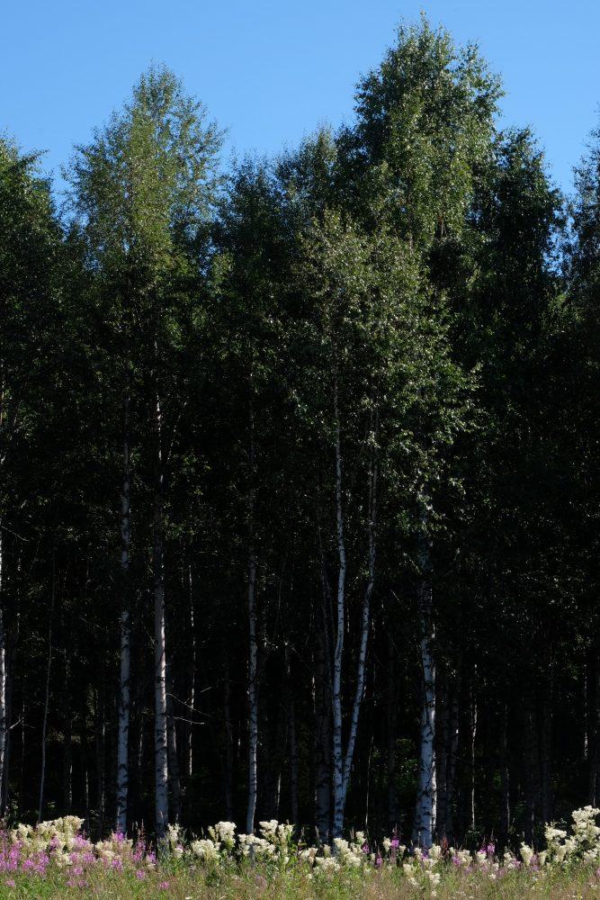 grano beckasin trees 667x1000 - Sleeping in a treehouse at Granö Beckasin in Granö, Sweden