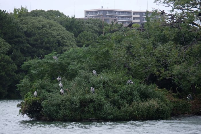 ohori park herons 700x467 - A walking tour of the parks, shrines, & temples of Fukuoka, Japan