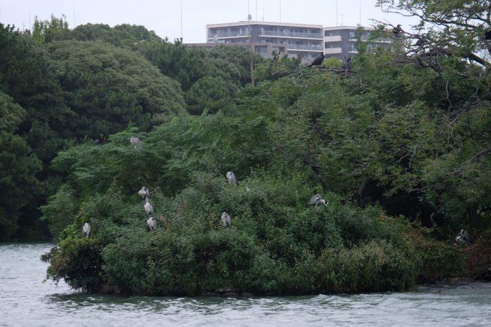 ohori park herons 700x467 - A walking tour of the parks, shrines, & temples of Fukuoka, Japan