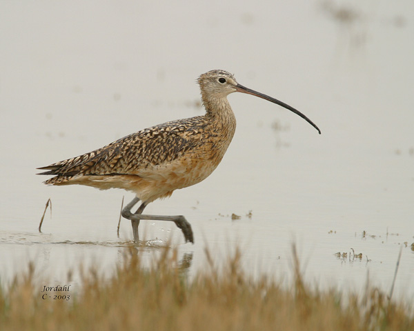 long billed curlew brr roland jordahl - Historic & natural journeys in Box Elder County, Utah