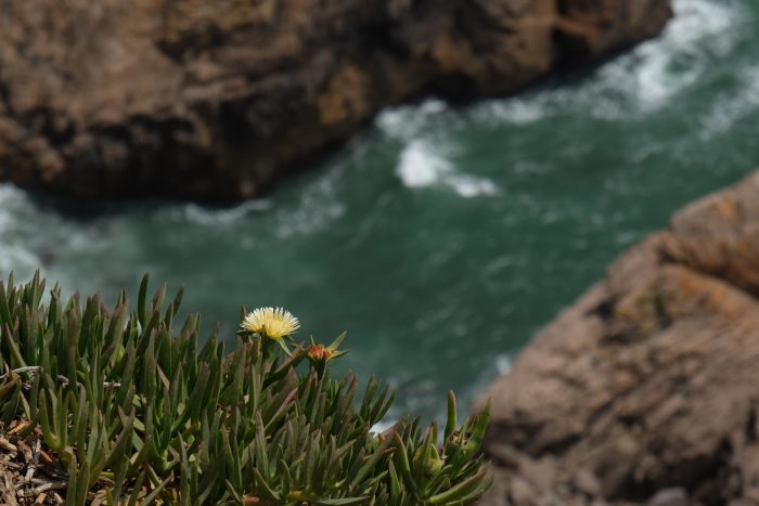 day trip to sintra cascais natural park cabo da roca cliff flower 700x467 - A day trip from Lisbon to Sintra, Portugal - Sintra-Cascais Natural Park & Cabo da Roca
