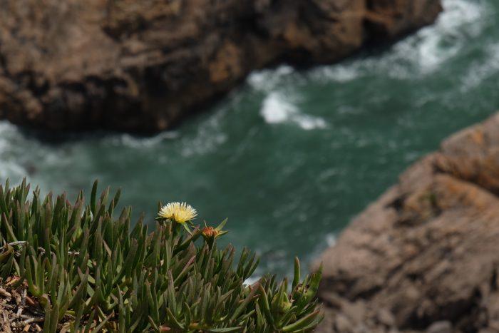 day trip to sintra cascais natural park cabo da roca cliff flower 700x467 - A day trip from Lisbon to Sintra, Portugal - Sintra-Cascais Natural Park & Cabo da Roca