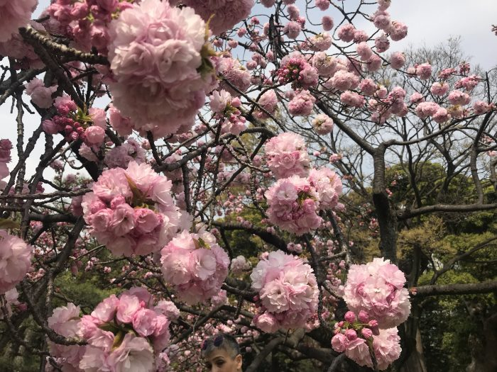cherry blossoms japan 700x525 - The 10 best places to see cherry blossoms in Tokyo, Japan