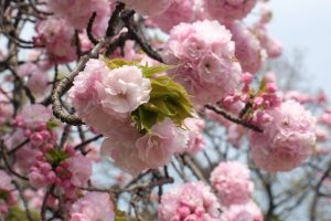 hamarikyu gardens cherry blossoms 300x200 - The 10 best places to see cherry blossoms in Tokyo, Japan