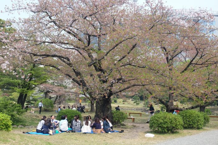 kyu shiba rikyu garden cherry blossoms tokyo hanami 700x467 - The 10 best places to see cherry blossoms in Tokyo, Japan
