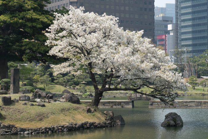 kyu shiba rikyu gardens tokyo 700x467 - The 10 best places to see cherry blossoms in Tokyo, Japan