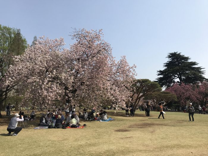 shinjuku gyoen national garden cherry blossoms tokyo 700x525 - The 10 best places to see cherry blossoms in Tokyo, Japan