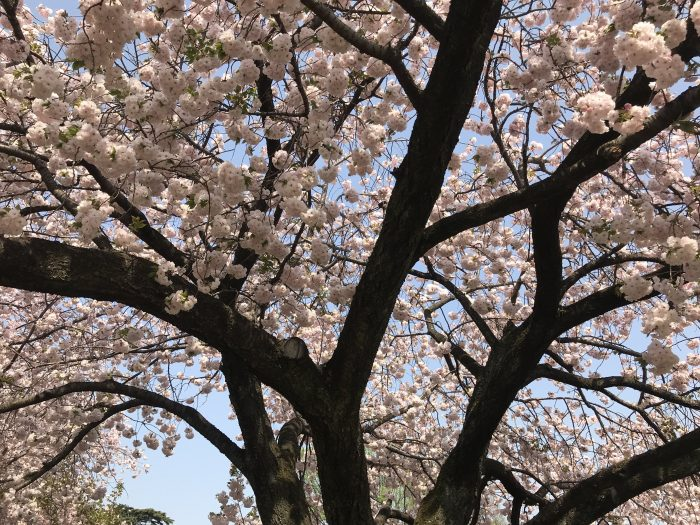 shinjuku gyoen national garden cherry blossoms tokyo peak bloom 700x525 - The 10 best places to see cherry blossoms in Tokyo, Japan