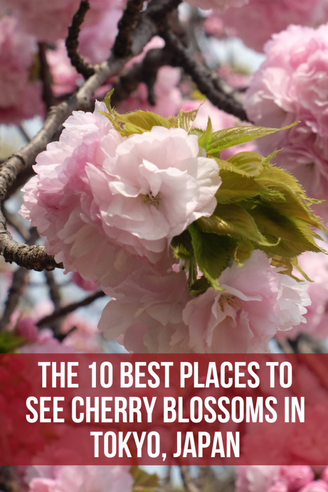 the 10 best places to see cherry blossoms in tokyo japan 667x1000 - The 10 best places to see cherry blossoms in Tokyo, Japan