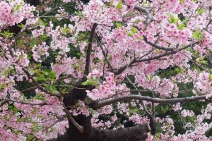 ueno park cherry blossoms tokyo 300x200 - Travel Contests: April 17, 2019 - Japan, Santorini, Thailand, & more