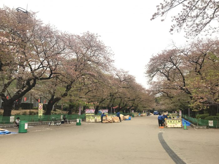 ueno park cherry blossoms tokyo hanami 700x525 - The 10 best places to see cherry blossoms in Tokyo, Japan