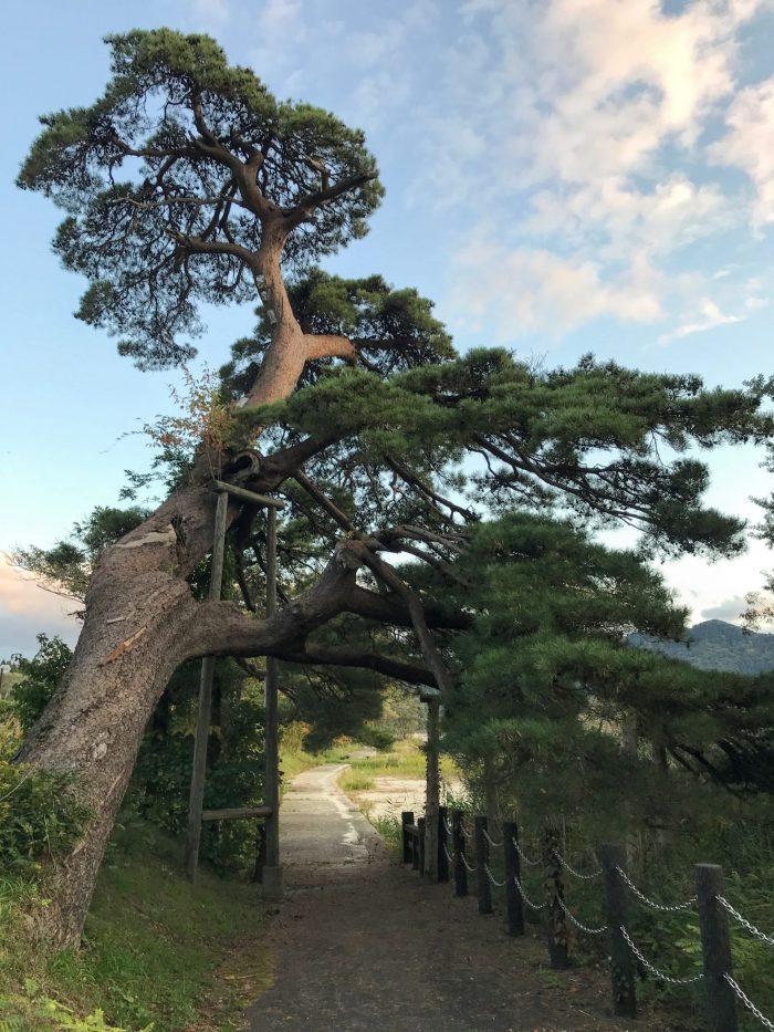horai pine lake tazawa 700x933 - A day trip from Morioka to Lake Tazawa, Japan
