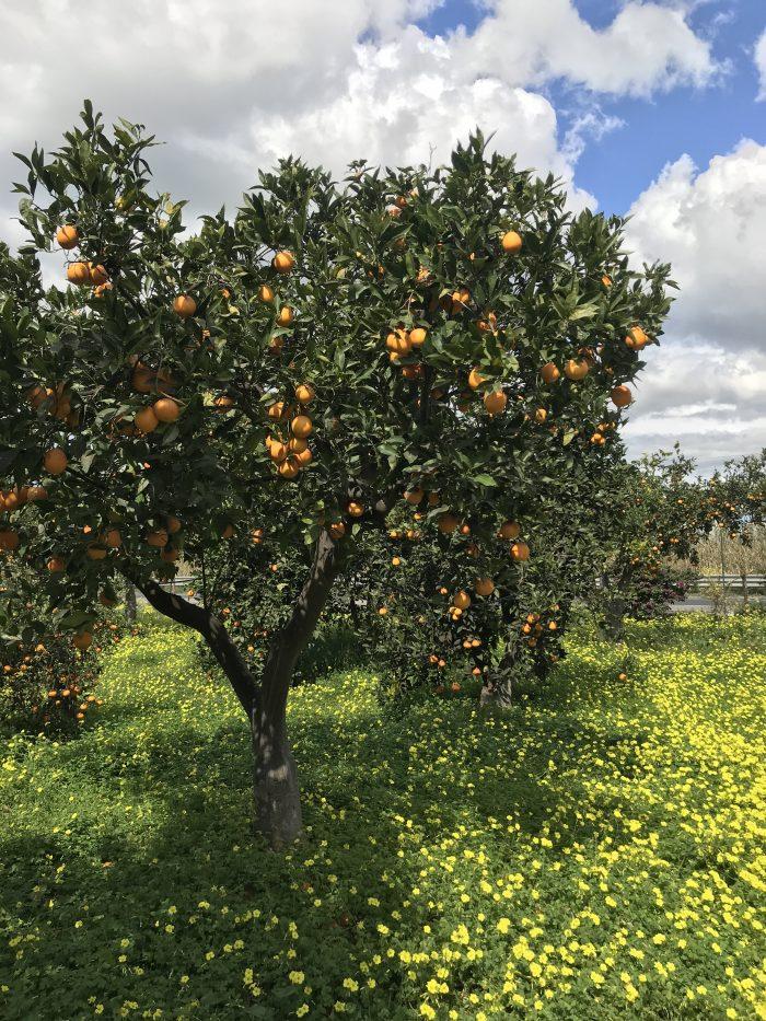 tenuta del gelso orange grove 700x933 - Orange groves & wine tasting at Tenuta Del Gelso in Catania, Sicily