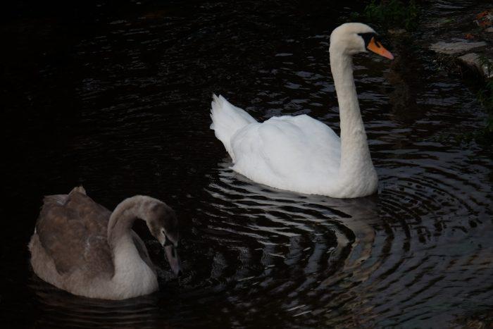 swans ross castle 700x467 - Ross Castle & Ross Island in Killarney, Ireland